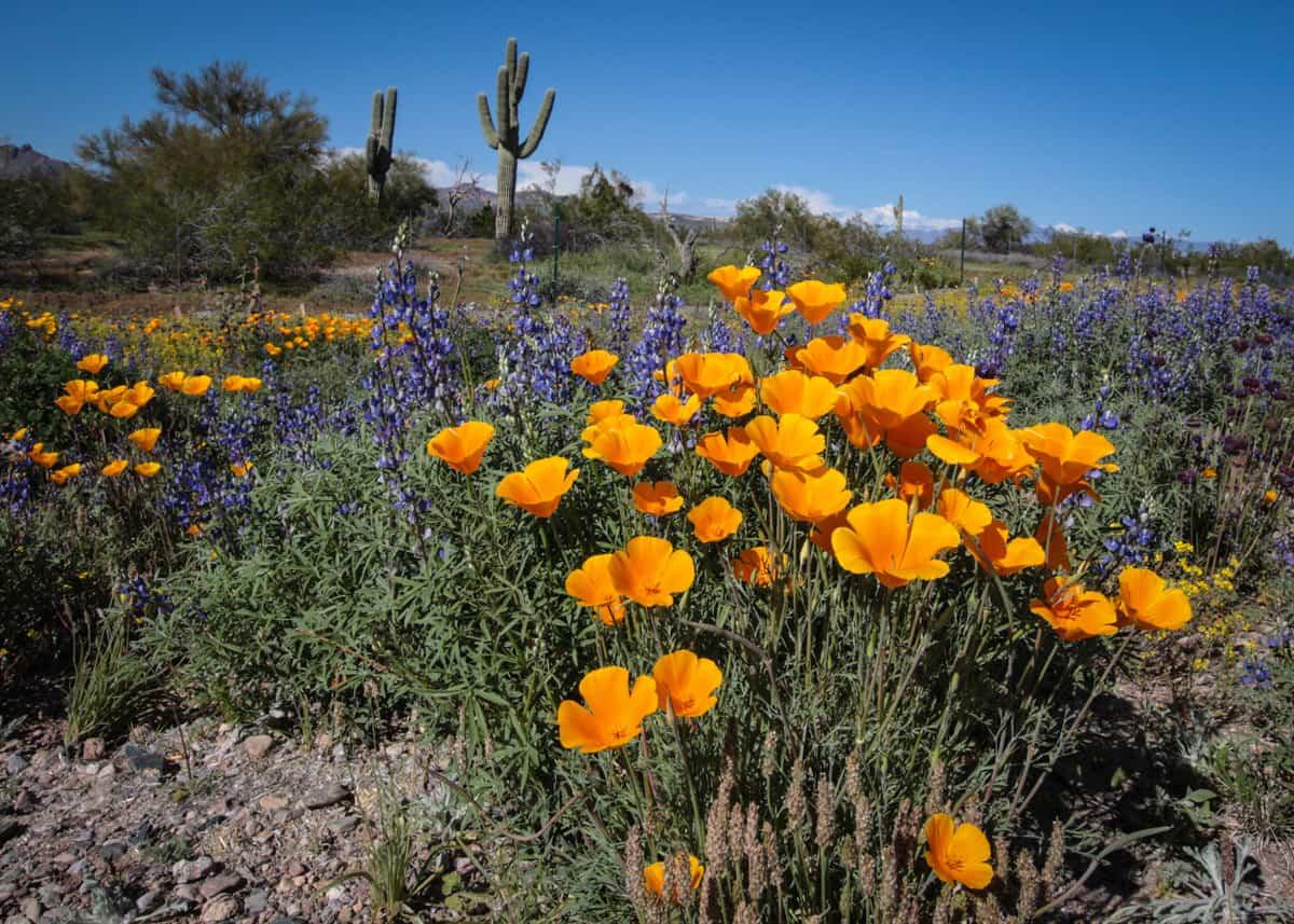 A Guide to Arizona Wildflowers