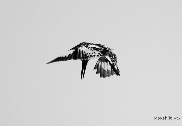 Pied KF - dagger like beak