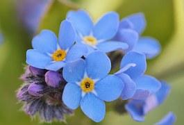 スカイブルー 花