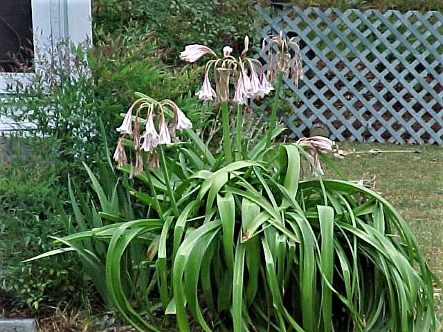 Friday Night Family Heirlooms: Grandma Ola's Lily