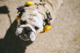 Dog wearing floral crown grunting at ca,era