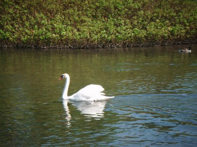 A swan on a green waterway in Bakewell.