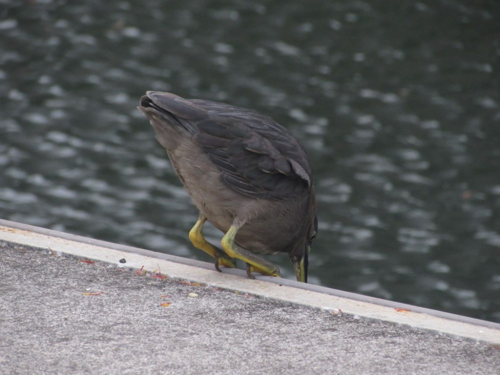 Mangrove Striated Heron catches fish from the pier... (3/6)