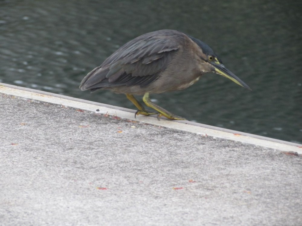 Mangrove Striated Heron catches fish from the pier... (5/6)