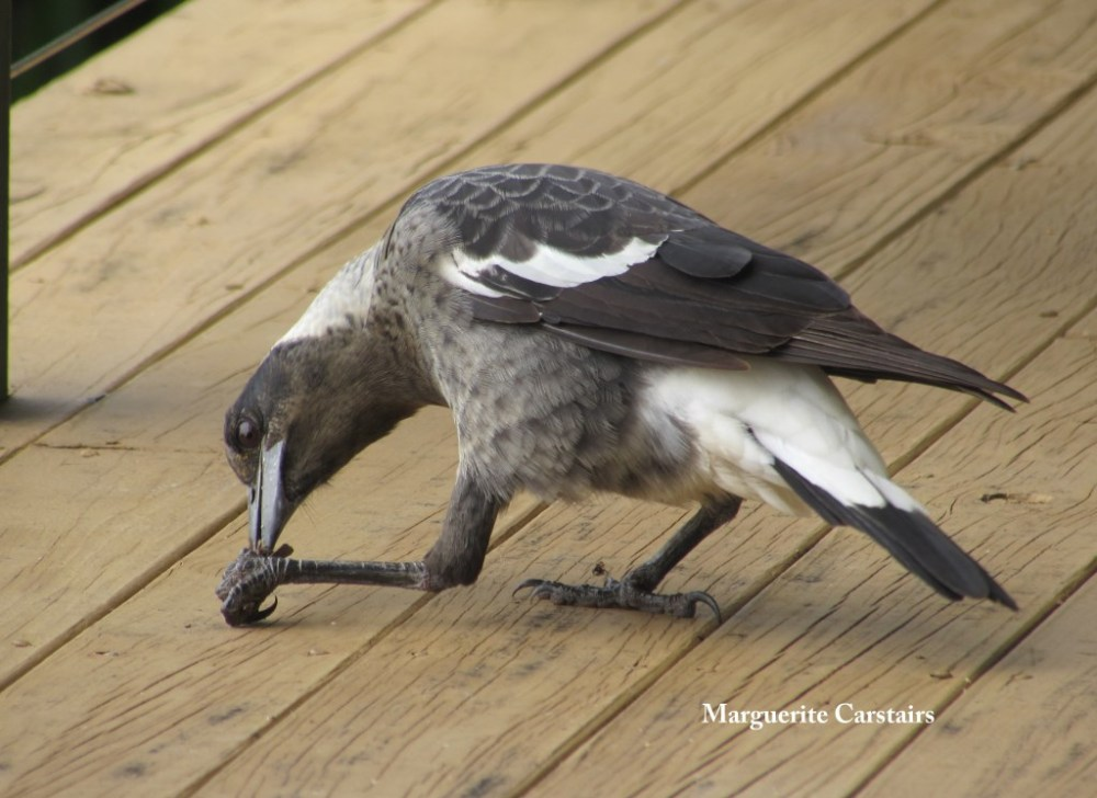 Young Butcher Birds with a piece of bread (1/6)
