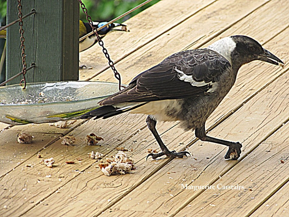 Young Butcher Birds with a piece of bread (4/6)
