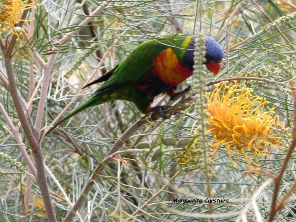 Dining Out...Lorrikeets acrobat on the Grevilleas (1/6)