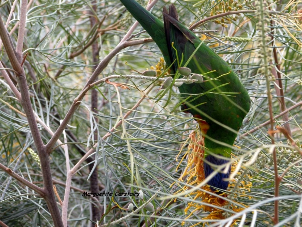 Dining Out...Lorrikeets acrobat on the Grevilleas (2/6)