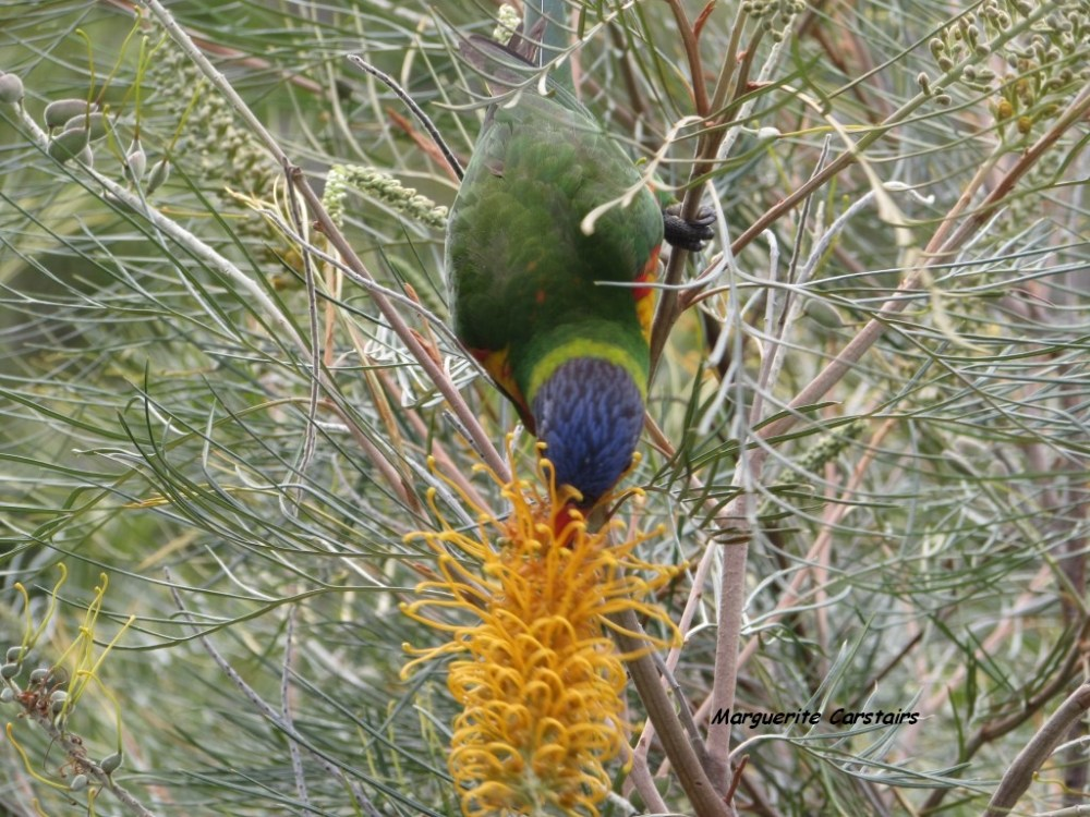 Dining Out...Lorrikeets acrobat on the Grevilleas (3/6)