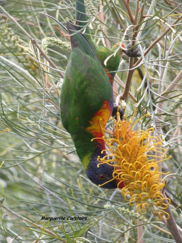 Dining Out...Lorrikeets acrobat on the Grevilleas (5/6)