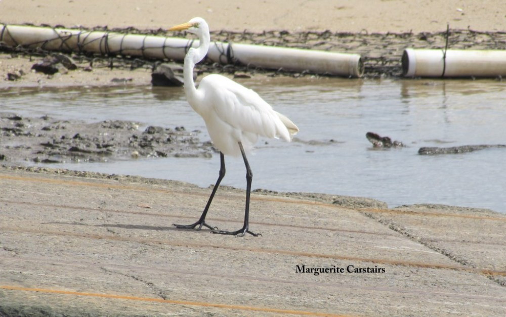 Egret Takes a walk on the wild side (4/6)
