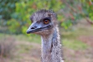 emu acne