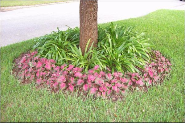 landscaping with caladiums 101