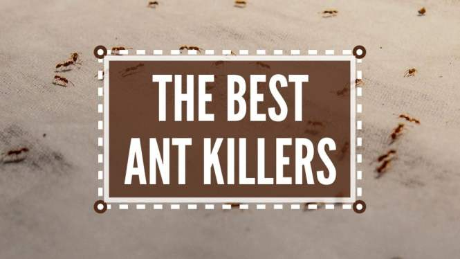 Like Bees Ants Also Live In Communal Groups Because All The Family Members Are Closely Related Ants Foragers They Invade Space Order To Find
