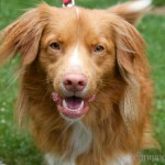 Photo of the Day: Adorable Toller