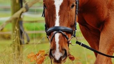 showday horses