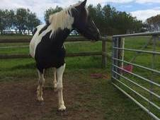 Horse for sale 14.2h mare