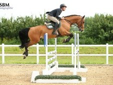 Horse for sale super scopey five year old