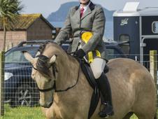 horse for sale 15.2h connemara