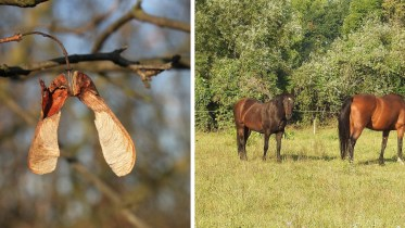 Atypical Myopathy