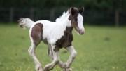 Blue cross foals