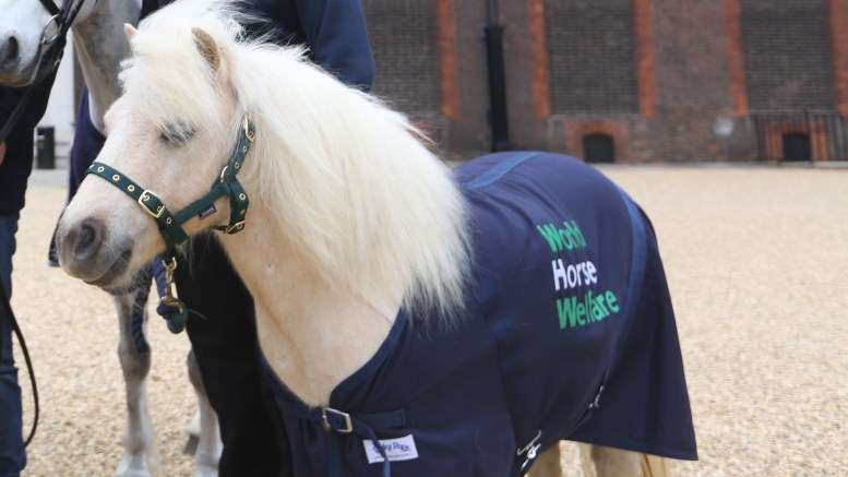 Shetland pony, Pamela, to compete at Burghley Horse Trials