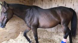 Funds needed for horse who suffered injury protecting a foal from an attack