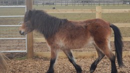 Blue Cross pony Swift is in search of a new home in time for Christmas