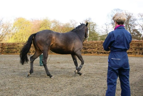 Dr Sue Dyson observing a horse being lunged