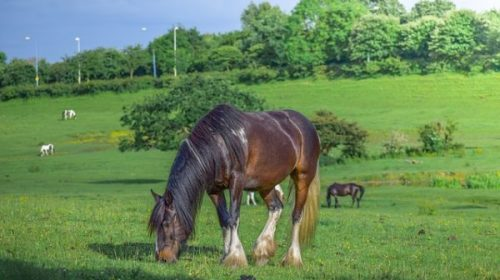 What To Consider When Caring For A Horse With Laminitis