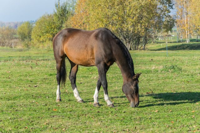 Why does horse eat mud. One horse grazing in the meadow. One beautiful bay horse.