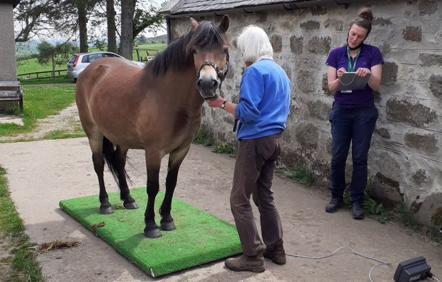 Native-breed horse being examined - owners wanted for assistance in laminitis study