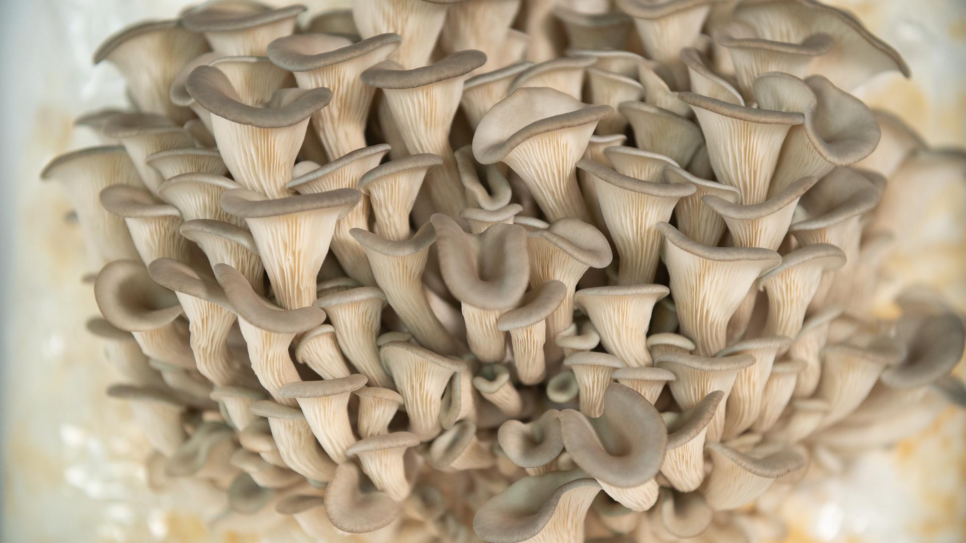Sawdust Spawn Block - Oyster Mushroom, Blue Oyster (Pleurotus columbinus)