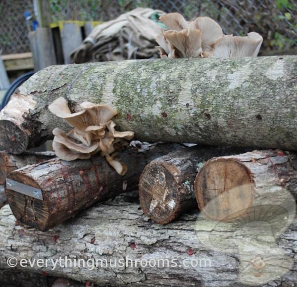 Oyster Mushroom, Blue Oyster Plug Spawn, Pleurotus columbinus, 100 pack