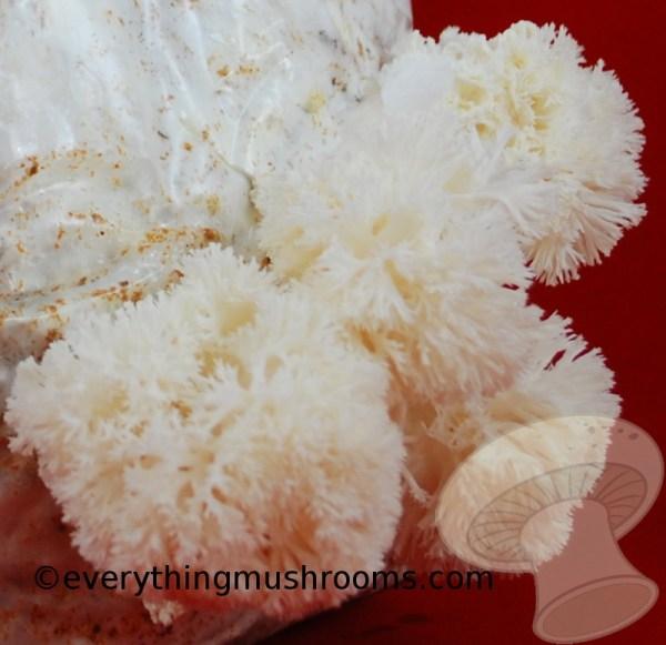 Hericium erinaceus : Lion's Mane Mushroom - 10cc liquid culture
