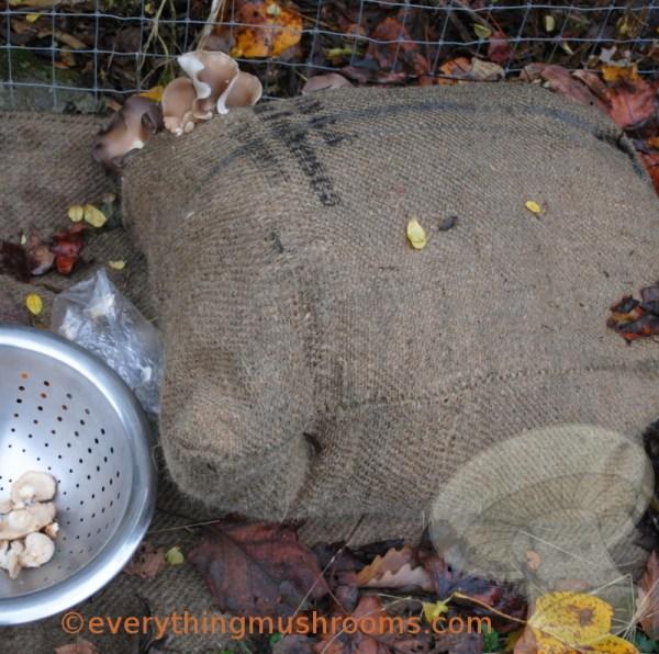 Oyster Mushroom, Phoenix Oyster (Pleurotus pulmonarius) - Sawdust Spawn Block