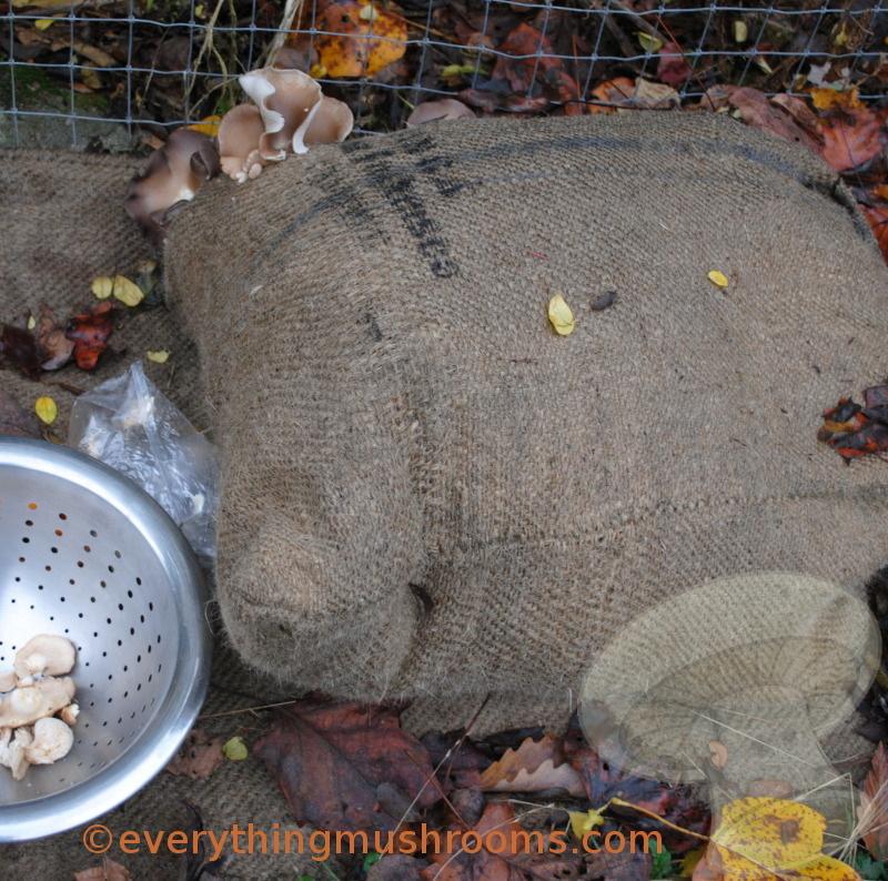 Sawdust Spawn Block - Oyster Mushroom, Phoenix Oyster (Pleurotus  pulmonarius)