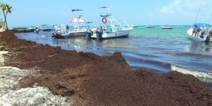 Image result for sargasso playa del carmen