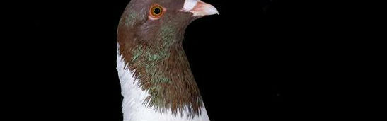 Pigeon Acuctions in Sanliurfa, Turkey