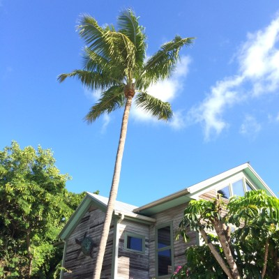 Key West, Palmen