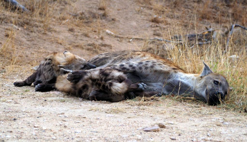 Hyänen im Kruger NP
