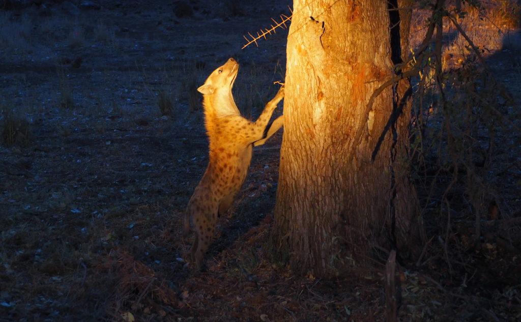 Hyäne bei Nacht im Kruger NP