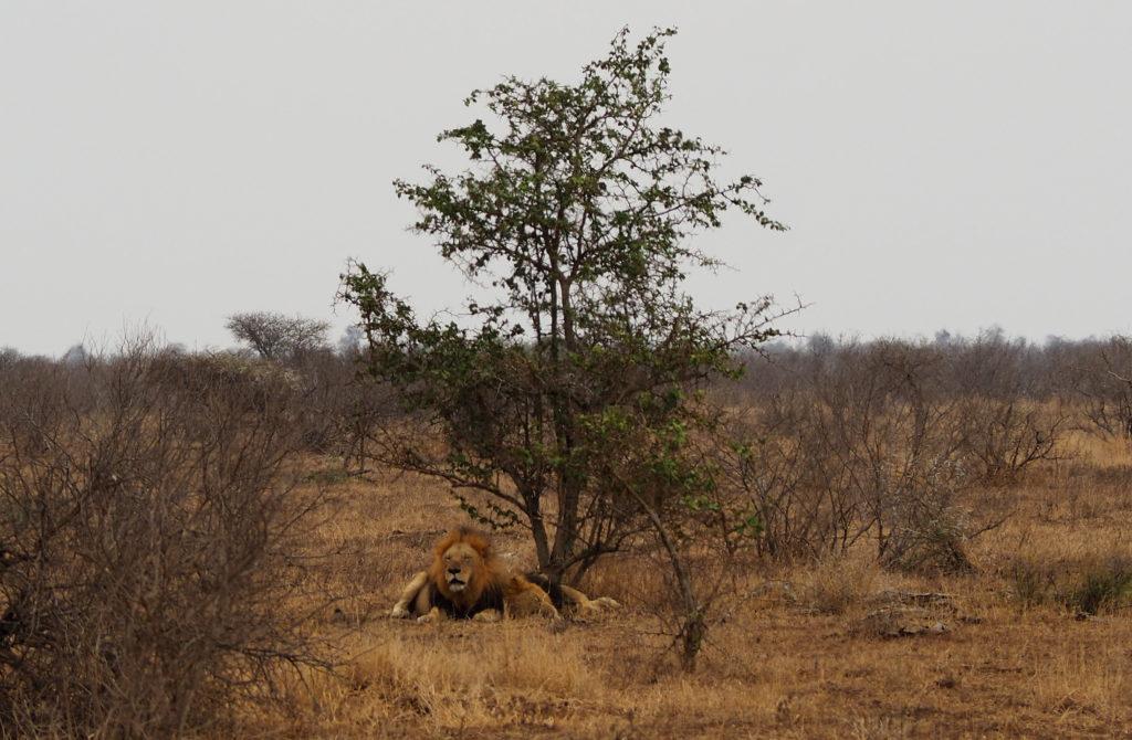 Löwen im Kruger NP