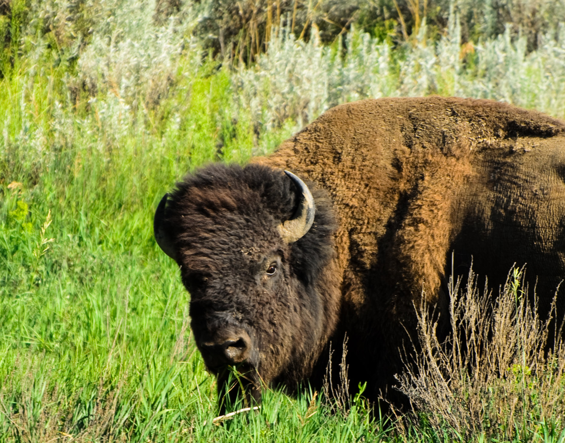 Close Encounters Of The Bison Kind