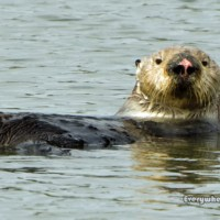 Secret Sea Otter Site