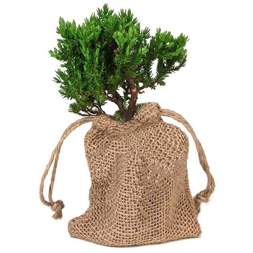 Starter Japanese Juniper Bonsai in Burlap Bag