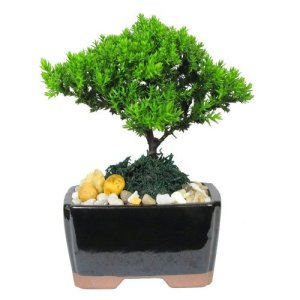 Mini Japanese Juniper Bonsai Tree
