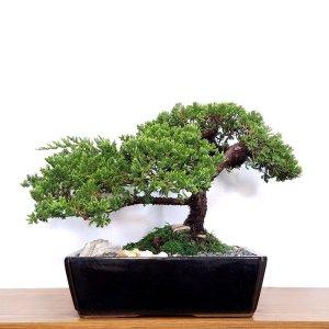 Specimen Juniper Bonsai