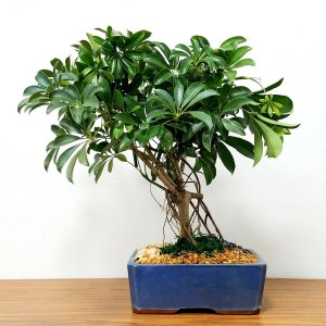 Large Schefflera Bonsai Tree