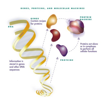 Diagram explaining how the body constructs proteins